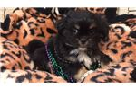 Picture of Abu Cute Peagle Puppy for sale Bayside Flushing Qu