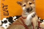 Picture of Hachii Cute Shiba Inu for sale Bayside Flushing Qu