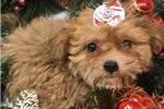 Picture of Merida Cute Shorkie Puppy for Sale in Queens NY