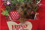 KENAI Cute Yorkie Puppy for Sale in Queens NY | Puppy at 19 weeks of age for sale
