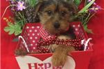 Koda Cute Yorkie Puppy for Sale in Queens NY | Puppy at 19 weeks of age for sale