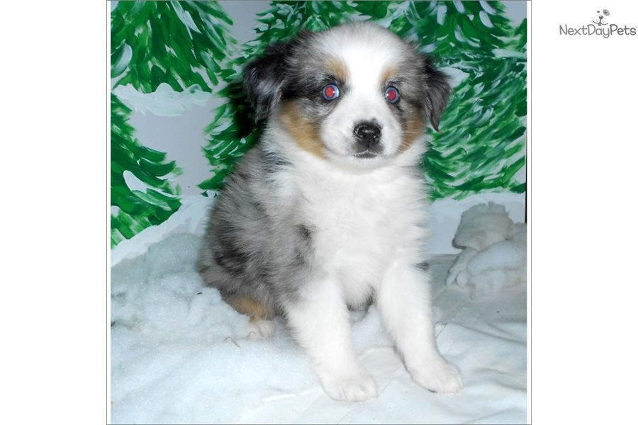 Max Australian Shepherd Puppy For Sale Near West Palm Beach