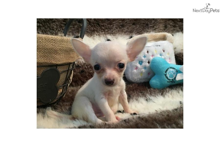 Teacup Chihuahua Chihuahua Puppy For Sale Near West Palm Beach