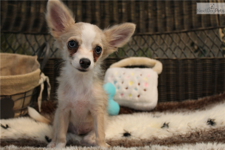Jack Chihuahua Puppy For Sale Near West Palm Beach Florida