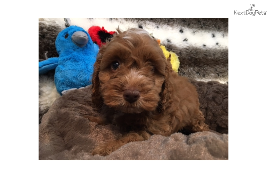 Cockapoo Puppy For Sale Near West Palm Beach Florida