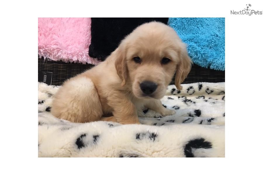 Rosco Golden Retriever Puppy For Sale Near West Palm Beach Florida