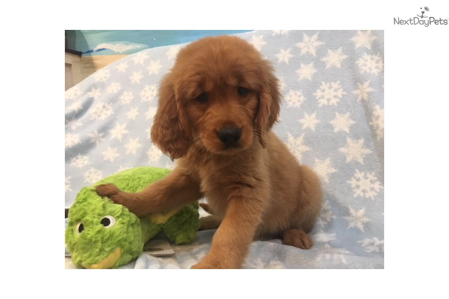 Ginger Golden Retriever Puppy For Sale Near West Palm Beach