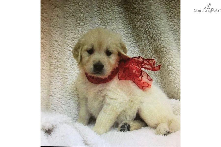 Bella Golden Retriever Puppy For Sale Near West Palm Beach Florida