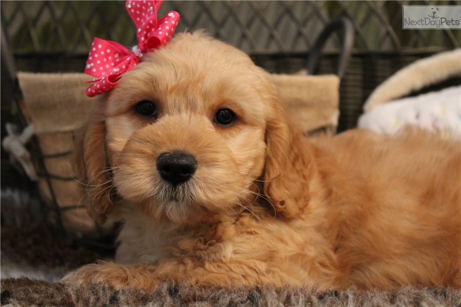 Goldendoodle puppy for sale near West Palm Beach, Florida ...