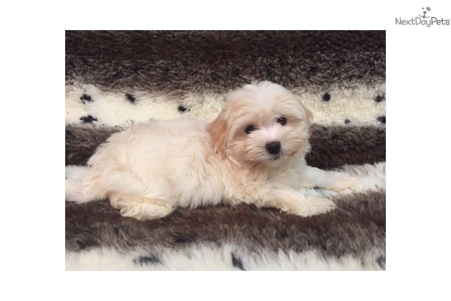 Smokey Havanese Puppy For Sale Near West Palm Beach Florida