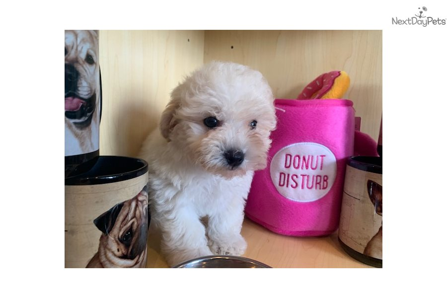 Mixed/Other puppy for sale near West Palm Beach, Florida