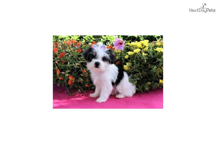 Morkie / Yorktese puppy for sale near West Palm Beach