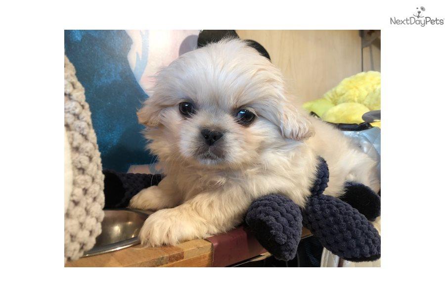 Pekingese Puppy For Sale Near West Palm Beach Florida 2c7bb0b6 0981