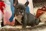 Picture of SUPER CUTE AND PLAYFUL FRENCH BULLDOG MALE