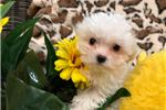 Picture of Super Adorable and Tiny Female Maltese!