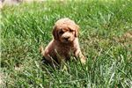 Picture of Fluffy and Cute Mini Goldendoodle F1B