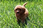 Picture of Smart and Handsome Male Mini Goldendoodle F1B