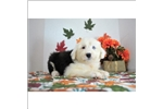 Picture of Simply Gorgeous Little Old English Sheepdog Puppy!