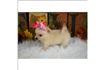 Picture of Amazing and Cuddly Little Female Pomchi Puppy!