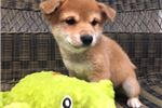 Picture of Handsome and Spunky Shiba Inu Puppy!