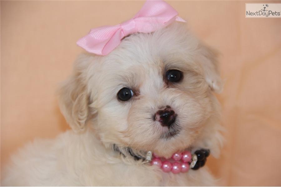 Karma: Malti Poo - Maltipoo puppy for sale near Tulsa