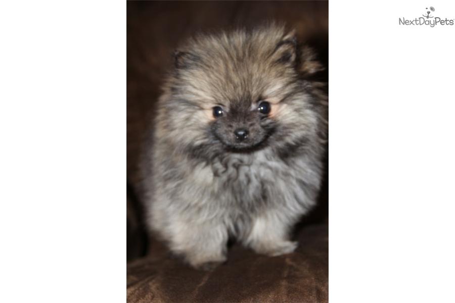 Murphy Pomeranian Puppy For Sale Near Tulsa Oklahoma 1693a4e5 E5e1