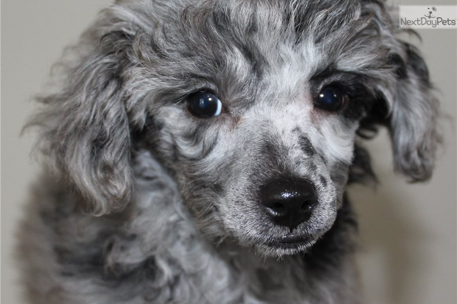 Buddy Merle Poodle Poodle Miniature Puppy For Sale Near