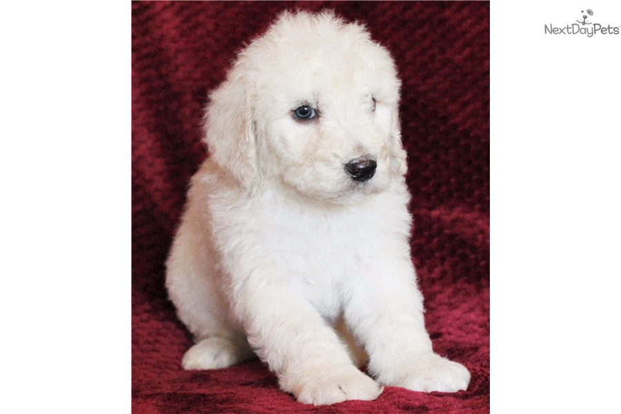 Scout - F1b : Sheepadoodle puppy for sale near Fayetteville