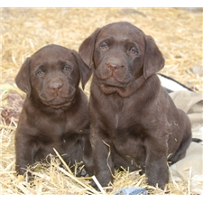 Chocolate lab puppies for sale san antonio