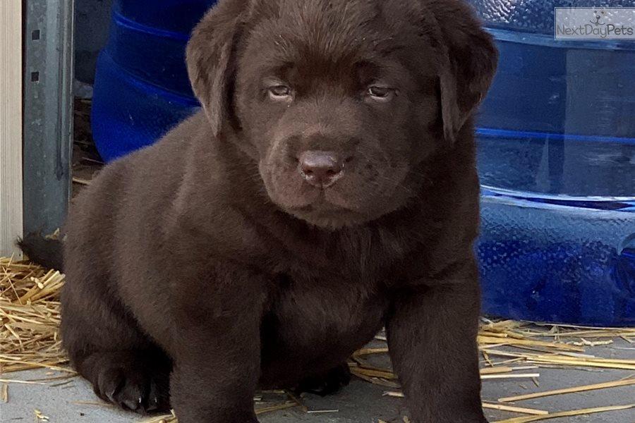 Chelsea Girl: Labrador Retriever puppy for sale near Denver