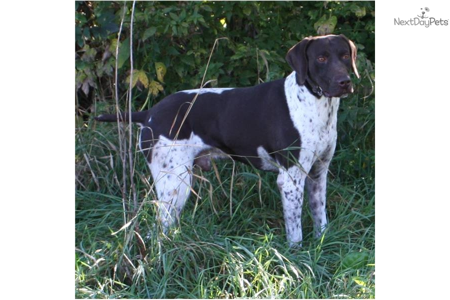 Meet JIM 1 a cute German Shorthaired Pointer puppy for ...