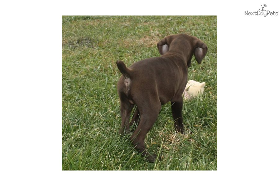 Buck 3 German Shorthaired Pointer Puppy For Sale Near Sioux City Iowa A0d9341e 3741