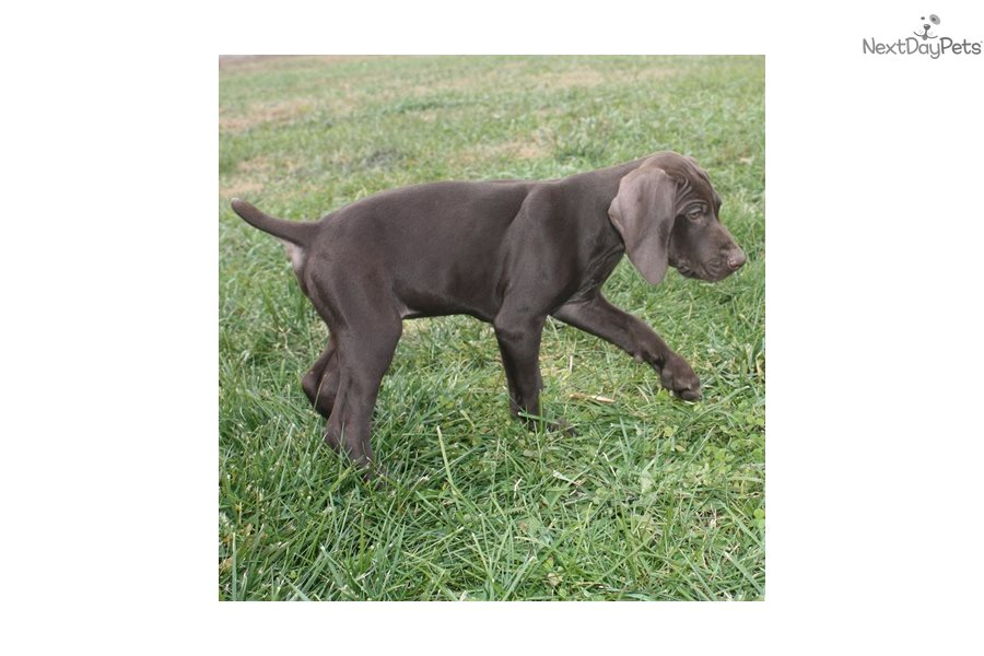Buck 2 German Shorthaired Pointer Puppy For Sale Near Sioux City Iowa A88d3d97 9951