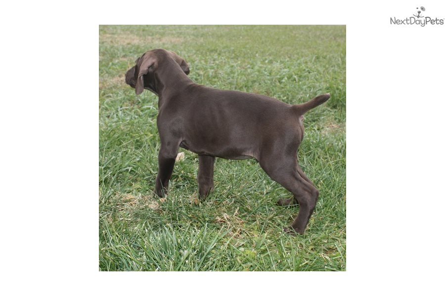 Buck 4 German Shorthaired Pointer Puppy For Sale Near Sioux City Iowa 5f99d239 7d21