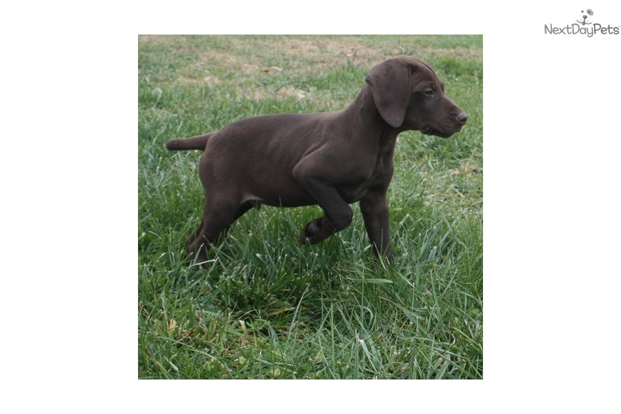 German Shorthaired Dogs For Sale In Iowa