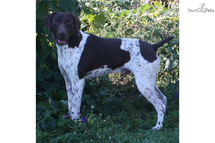 German Shorthaired Pointer puppy for sale near Sioux Falls ...