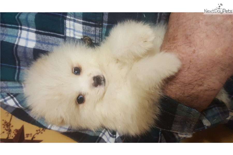Snowball Toy American Eskimo Dog Puppy For Sale Near Des Moines