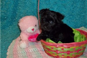 Ebony  Sold | Puppy at 8 weeks of age for sale