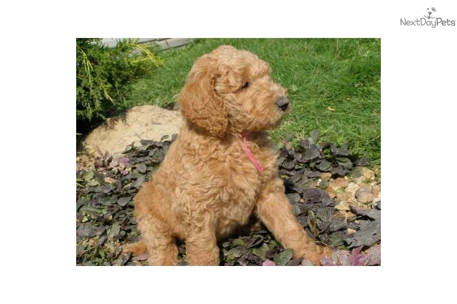 Eukanuba Puppy Food >> Meet Angel Pups a cute Labradoodle puppy for sale for $800 ...