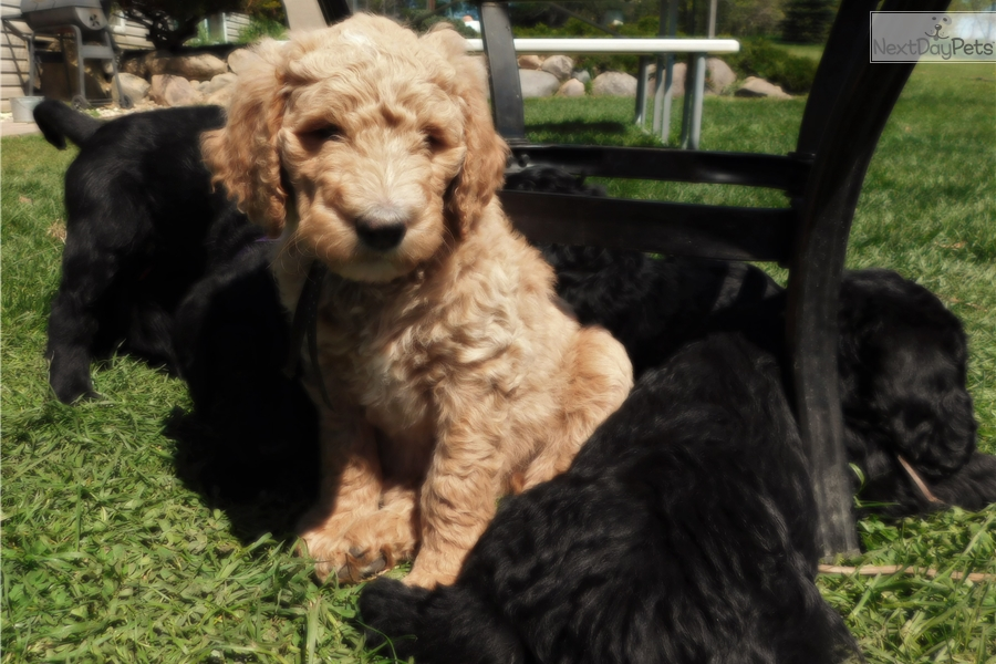 Riley Labradoodle Puppy For Sale Near The Thumb Michigan