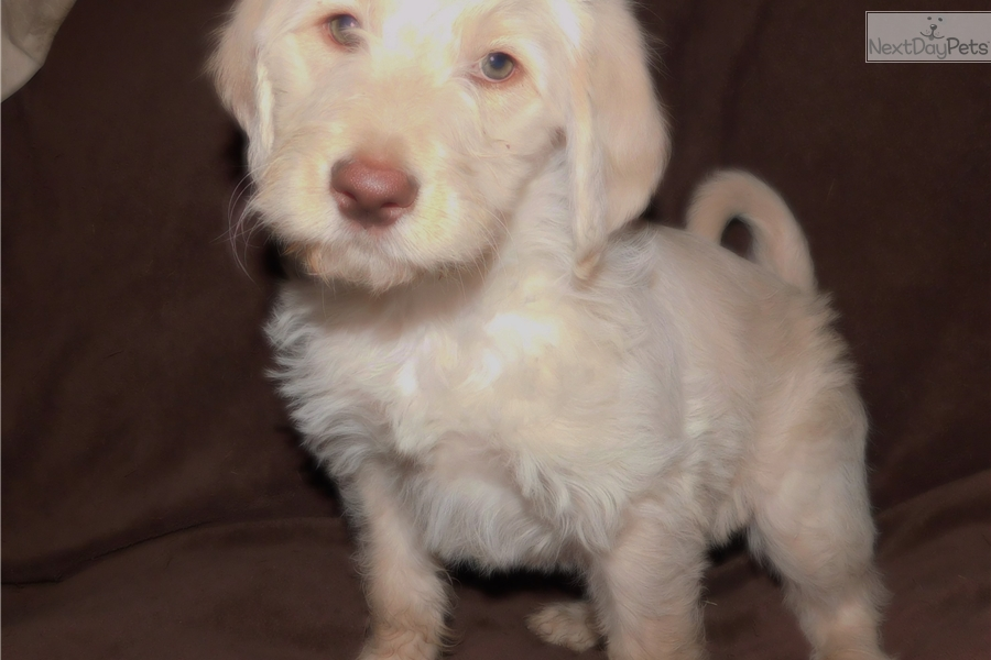 Daphne Labradoodle Puppy For Sale Near The Thumb Michigan