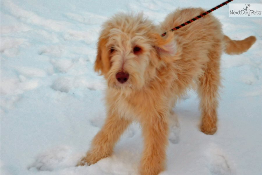 Franklin Labradoodle Puppy For Sale Near The Thumb Michigan