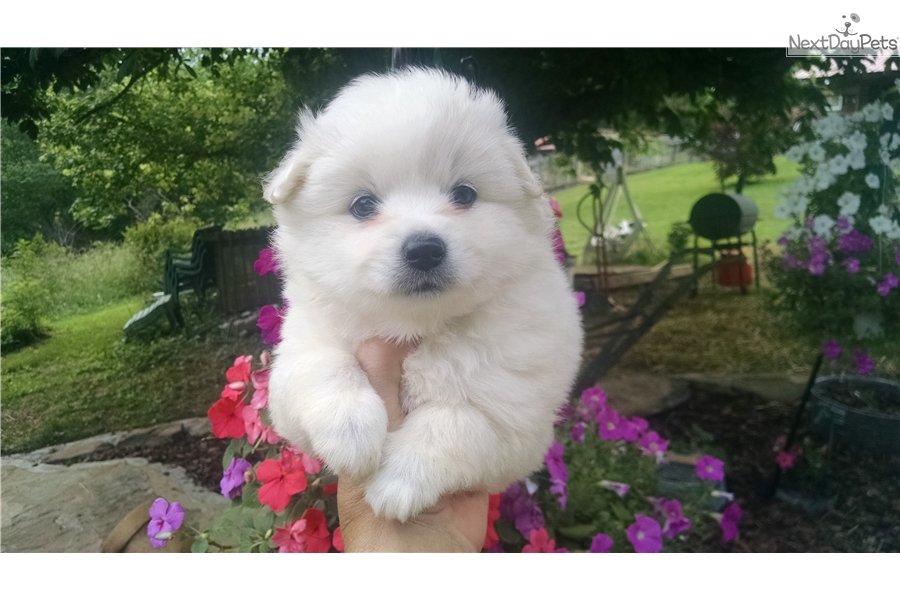 Sparkle American Eskimo Dog Puppy For Sale Near Knoxville