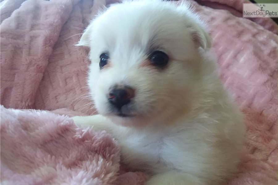 American Eskimo Dog For Sale In Tennessee