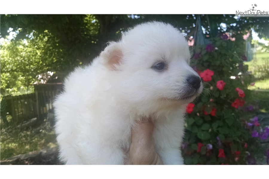 snowball american eskimo dog puppy for sale near knoxville