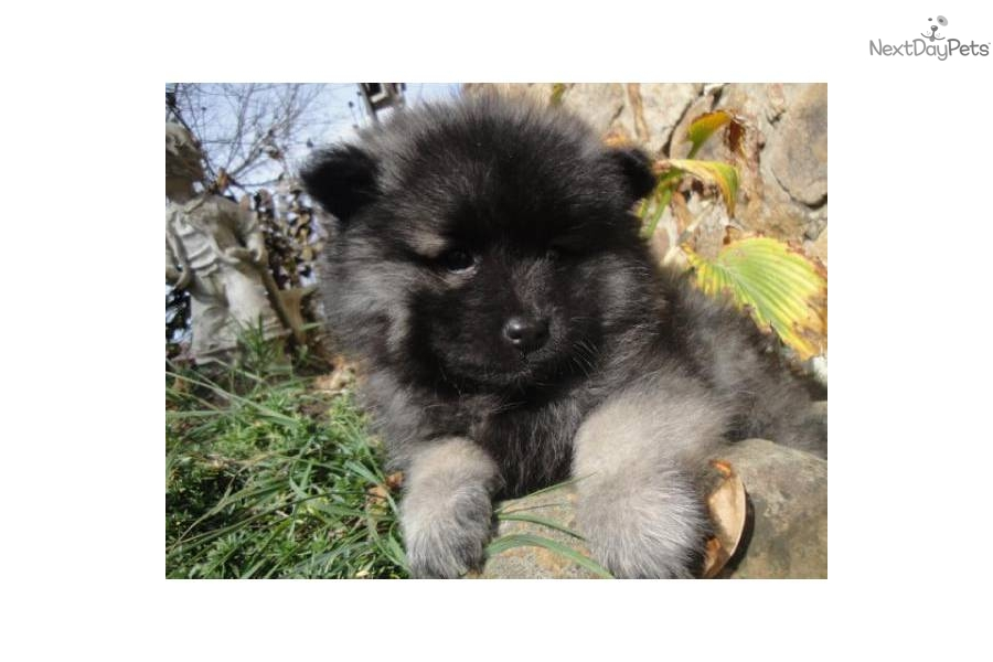 Keeshond puppy for sale near Knoxville, Tennessee ...