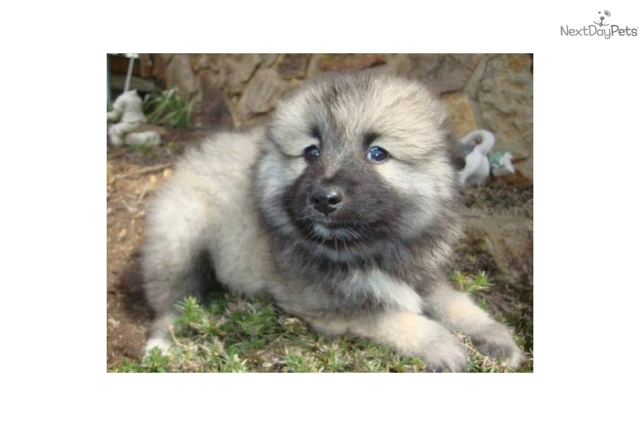Keeshond Puppy For Sale Near Tri Cities Tennessee 78b7c94b E711