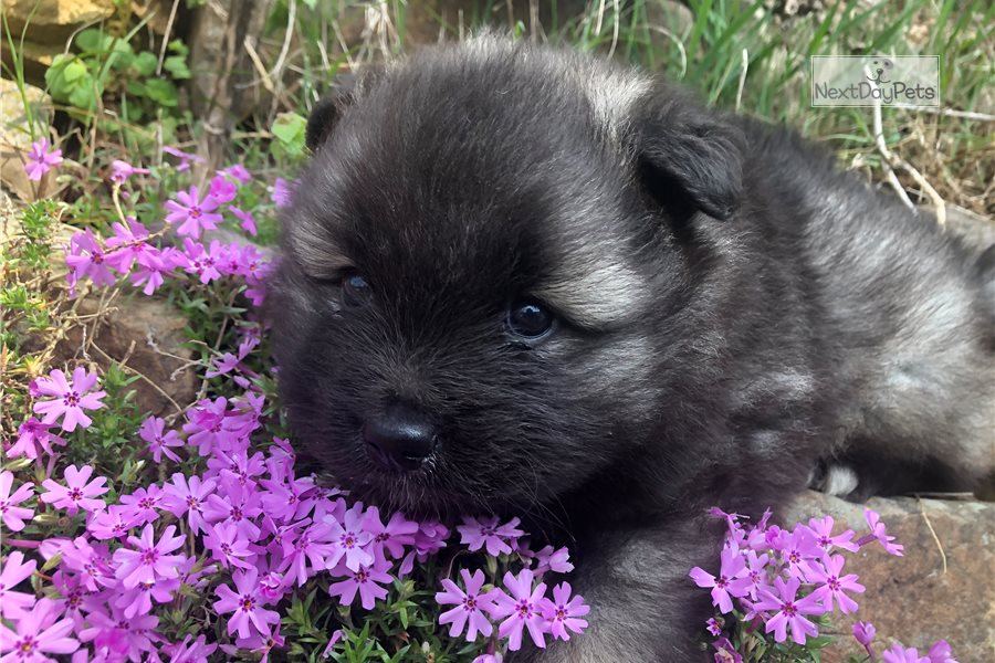 Bear Bear Keeshond Puppy For Sale Near Knoxville Tennessee 14ebbd16 68b1