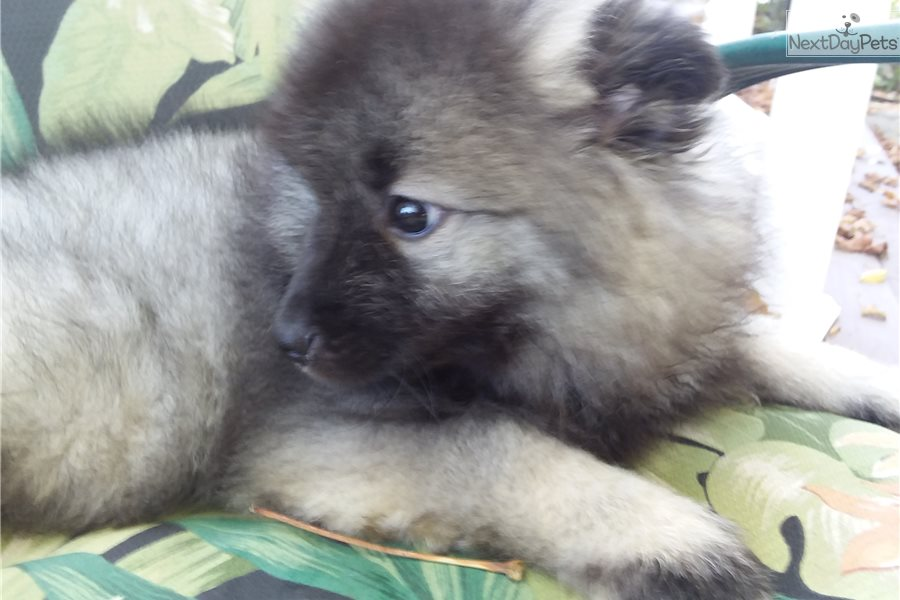 Smokey The Bear Keeshond Puppy For Sale Near Knoxville Tennessee F55e71d4 D541