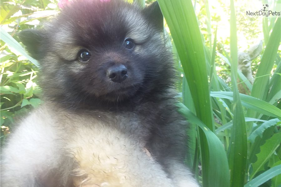 Teddy Bear Keeshond Puppy For Sale Near Knoxville Tennessee 6f305875 Dee1